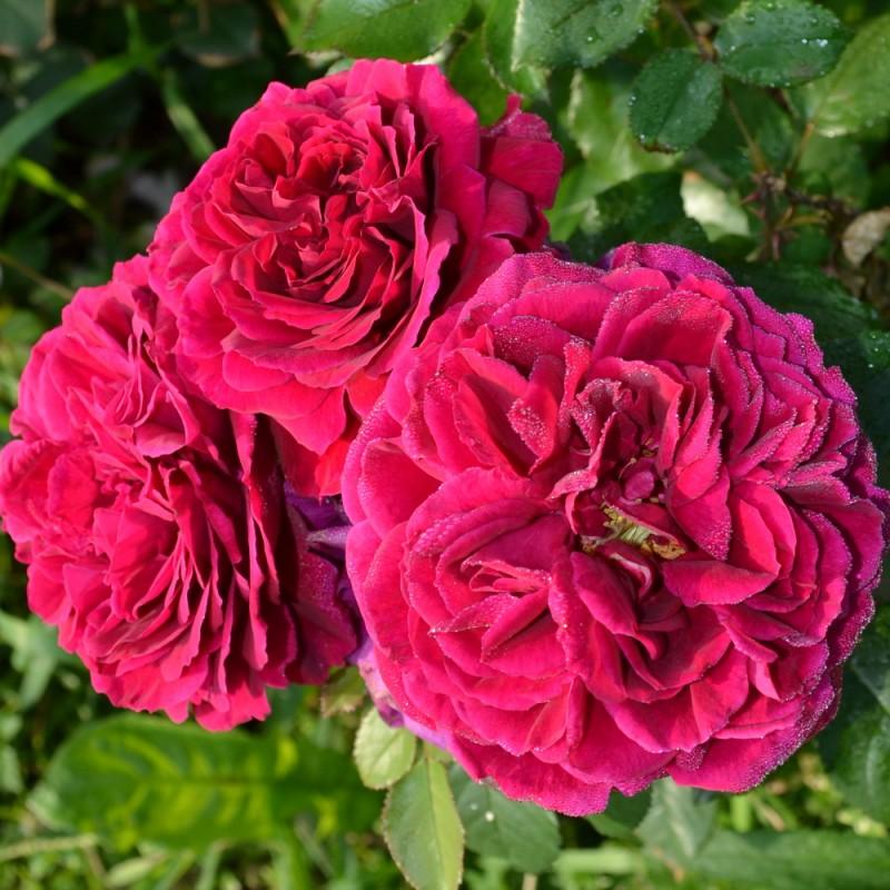 Розы фишерман френд фото и описание